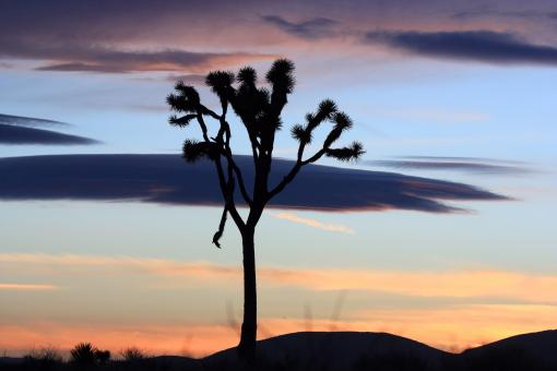 Joshua Trees - Free Stock Photo