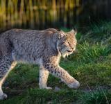Free Photo - Lynx in the Zoo