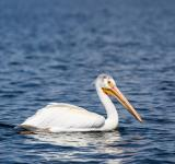 Free Photo - Pelican Swimming