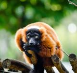 Free Photo - Red Ruffed Lemur