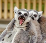 Free Photo - Ring Tailed Lemurs