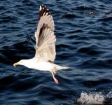 Free Photo - Seagull Flying