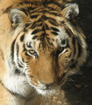 Bengal Tiger Closeup - Free Stock Photo