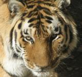 Free Photo - Bengal Tiger Closeup