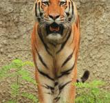 Free Photo - Bengal Tiger