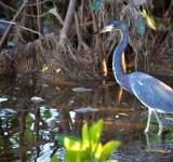 Free Photo - Tricolored Heron