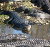 Free Photo - Wild Alligators