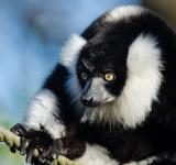 Free Photo - Black n White Ruffed Lemur