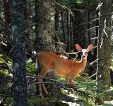 Free Photo - Deer in the Woods