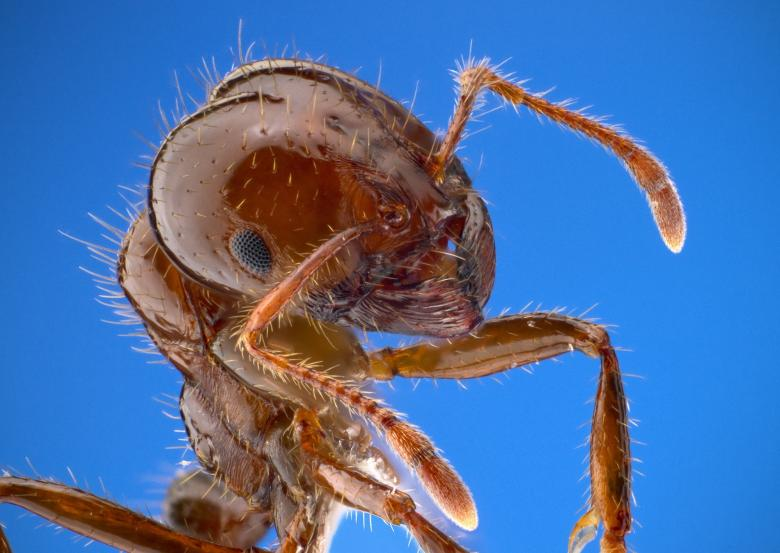 Fire Ant Free Insect Stock Photos
