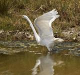 Free Photo - Great Egret