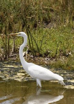 Great Egret - Free Stock Photo