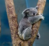 Free Photo - Koala Sleeping