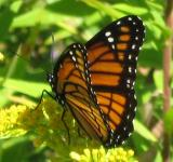 Free Photo - Monarch Butterfly