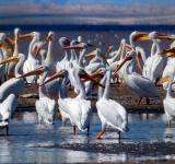 Free Photo - Group of Pelicans