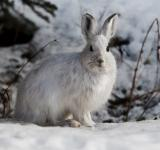 Free Photo - Snowshoe Hare