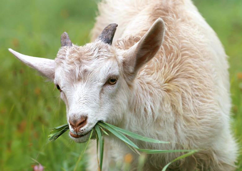 Free Stock Photo of Goat Created by svklimkin