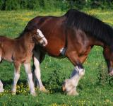 Free Photo - Wild Clydesdales