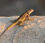 Free Photo - Spiny Lizard