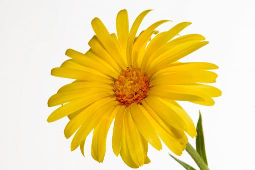 Glandular Cape Marigold - Free Stock Photo