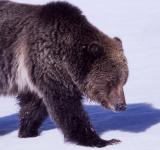 Free Photo - Grizzly in Winter
