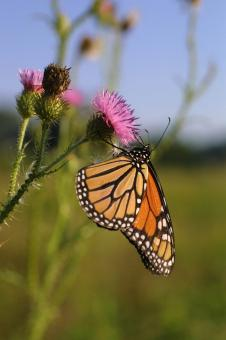 Monarch Butterfly - Free Stock Photo