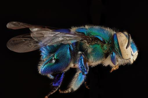 Orchid Bee - Free Stock Photo