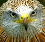 Free Photo - Red Kite