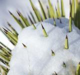 Free Photo - Snow on Cactus