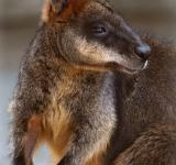 Free Photo - Swamp Wallaby