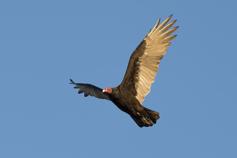 Free Stock Photo of Turkey Vulture Created by Pixabay