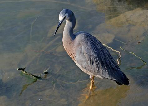 White Faced Heron - Free Stock Photo