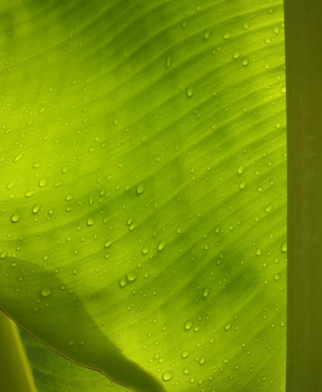 Water droplets on banana leaf Free Photo