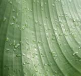 Free Photo - Water droplets on banana leaf