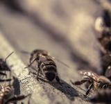 Free Photo - Bees closeup