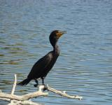 Free Photo - Double Crested Cormorant
