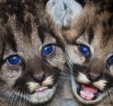 Free Photo - Mountain Lions