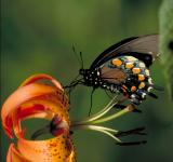 Free Photo - Pipevine Swallowtail Butterfly