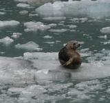 Free Photo - Seal on the Ice