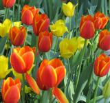Free Photo - Fresh Tulips