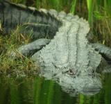 Free Photo - Saltwater Crocodile