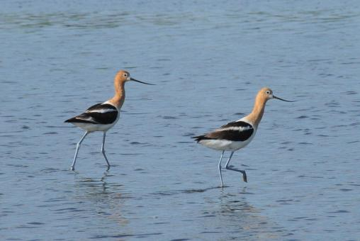 American Avocets - Free Stock Photo
