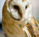 Free Photo - Barn Owl