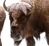 Free Photo - Frozen Bison