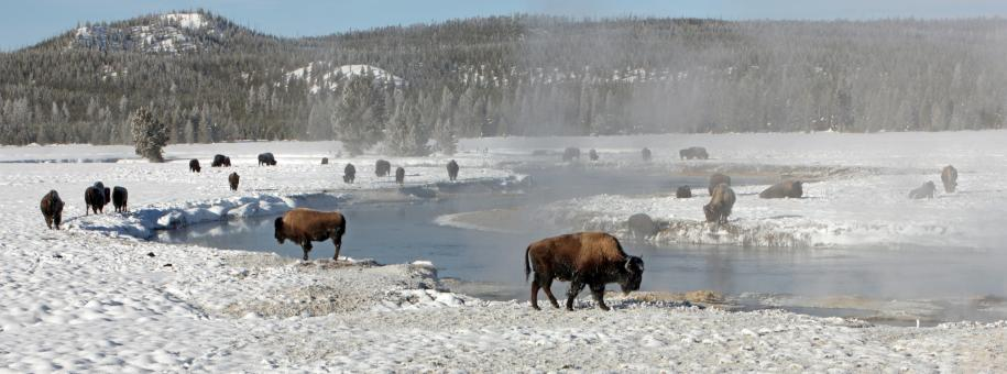 Bison Buffaloes - Free Stock Photo