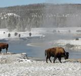 Free Photo - Bison Buffaloes
