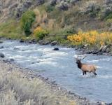 Free Photo - Bull Elk in the River