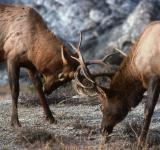 Free Photo - Bull Elk Fight