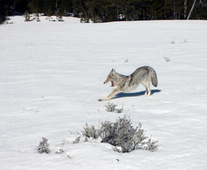 Coyote in Winter - Free Stock Photo