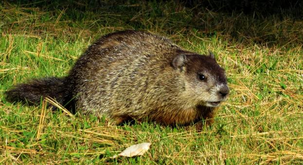 Ground Hog  - Free Stock Photo